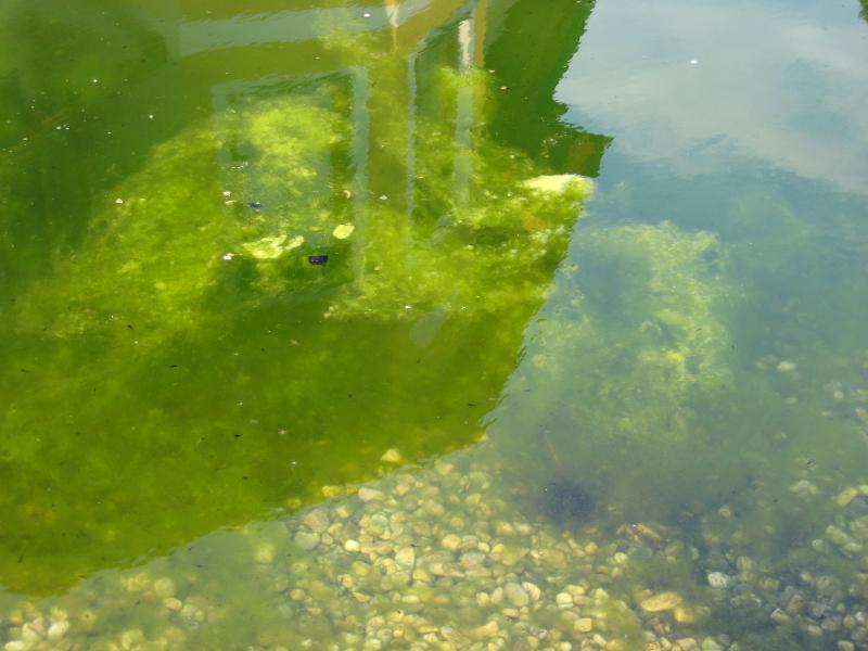 Maschinenring Teich: Unmenge von Algen
