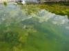 Maschinenringteich: Unmengen von Algen