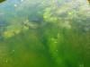 Teichbau Maschinenring: Unmengen von Algen